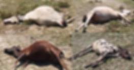 আধঘণ্টার ব্যবধানে মরল ১১ গরু, করোনা আতঙ্ক